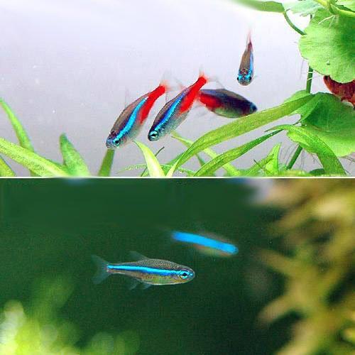 (熱帯魚)ネオンテトラ(10匹) + グリーンネオンテトラ(10匹) 本州・四国限定[生体]