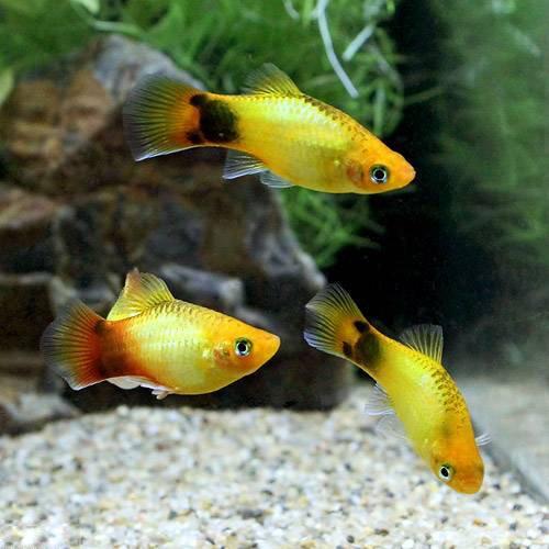 (熱帯魚) ゴールデン・ミッキーマウスプラティ(4匹) 本州・四国限定[生体]