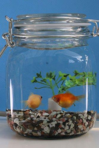 【国産金魚】 金魚のボトリウム