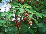 【6か月枯れ保証】【紅葉が美しい木】ジューンベリー 0.3m