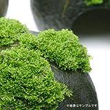 (水草)プレミアムグリーンモス バラ(無農薬)(1パック分) 本州・四国限定[生体]