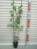 【ブドウ苗木】 シャインマスカット 2年生 ブドウ 【ガーデンストーリーの果樹苗木】