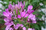 Cleome hassleriana Rose Queen - Spider Flower - 10 seeds