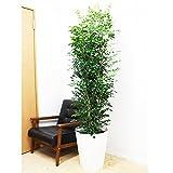 シルクジャスミン ゲッキツ 観葉植物 10号 大鉢 観葉植物 インテリア 大型 オシャレ 大きい 尺鉢 大サイズ 本物