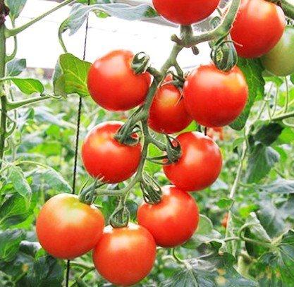 【てしまの苗】接木トマト/フルティカ   9cmポット