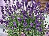 種子パッケージ: プロヴァンスラベンダーフラワーガール紫色のラベンダーガーデンテラスガーデニングの花の種鉢植え - 200pcsの種子