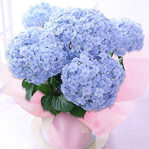 BunBunBee 母の日 アジサイ鉢・まあるい「てまりてまり・ブルー」 2019