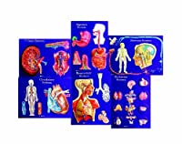 American Educational 6 Piece Master Set of Body Systems [並行輸入品]
