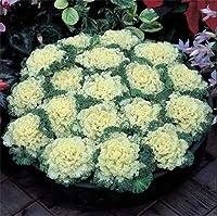 100個/袋ケール盆栽ハボタン植物の開花盆栽それともポット庭の装飾オーガニックおいしいVegtable