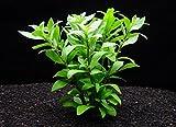 ハイグロフィラ・ポリスペルマ(5本) ◆ライトグリーンの葉が綺麗◆ メダカにも最適