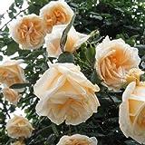 バラ苗 つるレディヒリンドン 国産大苗6号スリット鉢 つるバラ(CL) 四季咲き オレンジ系