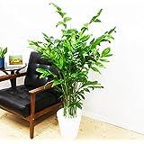 高性チャメドレア 観葉植物 ホワイトセラアート鉢 ヤシの木 日陰や寒さに強い やしの木 インテリア