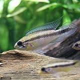 (熱帯魚)アピストグラマ・ゲフィラ バルセロス(ワイルド)(1ペア) 本州・四国限定[生体]