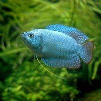 (熱帯魚)コバルトブルー・ドワーフグラミー(オス)(1匹) 本州・四国限定[生体]
