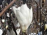 モクレン スノーホワイト 白花 根巻き大苗 庭木