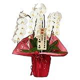 花市場直送便 大輪胡蝶蘭 3本立ち 30~36輪 スタンダード白 赤ラッピング 立て札付き