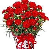 カーネーション  5号鉢 赤 鉢カバーつき 底面給水だから管理も簡単 丈夫で長く咲いてくれます (レッド)