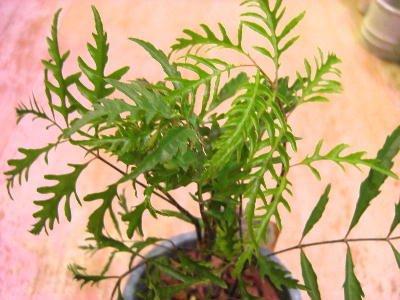 観葉植物 ポリシャス (タイワンモミジ) メッセージポット植え
