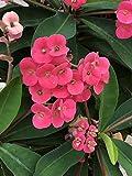 発芽種子:ハナキリン - いばらの冠、2本の挿し木、サイズ4-6