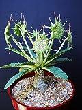 163.変な形の花が咲くソマリア原産の植物 ドルステニア・ホルウッディ。比較的育てやすい種です。(DORSTENIA HORWOODII 5粒) [並行輸入品]