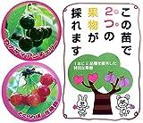 ハイブリッドプランツ:サクランボ(カナディアンチェリーと佐藤錦)7号鉢植え[高接ぎペアフルーツ] ノーブランド品