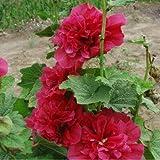 Best Rhodiolas - 2:20Pcs / Lot Rhodiola Hollyhockの花の種、Diyの装飾的な庭、Diyの家の庭を育てること容易 Review