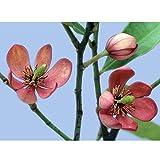 カラタネオガタマ:ポートワイン3.5号ポット 2株セット[ワインレッドの花がきれい] ノーブランド品