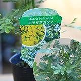 黄色いお花とやわらかい葉の人気者!庭木・植木:アカシア 品種色々!(ミモザ、プルプレア、デアネイ、パール) (ミモザ)
