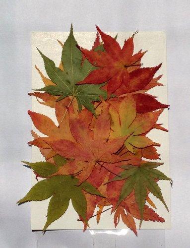 押し花素材(押し花パック)もみじ紅葉(赤・黄・緑ミックス)2...