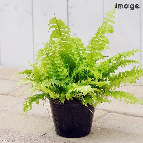 charm(チャーム) (観葉植物) シダ ネフロレピス ツデー 3号(1ポット)