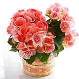 リーガース ベコニア(ベイビーピンク) 花鉢 フラワーギフト