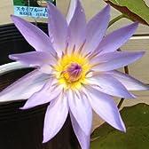 水生植物:温帯性スイレン(睡蓮)*【花色選べます】 (スカイブルー)