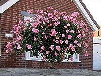 芸術はポスターを印刷します - バラの茂み開花家 - キャンバスの 写真 ポスター 印刷 (80cmx60cm)