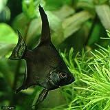 (熱帯魚)ブラック・エンゼルフィッシュ(国産ブリード)(1匹) 本州・四国限定[生体]