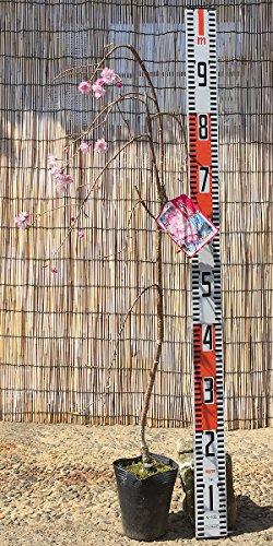 桜 苗木 八重紅枝垂 12cmポット苗 さくら苗