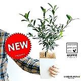 LAND PLANTS オリーブ苗 4号サイズ 白色鉢カバーセット