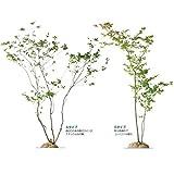 オンリーワン 植栽・樹形美 ナツハゼ KJ6-TJN  Bタイプ