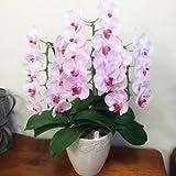 [エルフルール]フラワーギフト 開店・開業祝いの贈り物に!胡蝶蘭 ピンク系 生花 こちょうらん コチョウラン 引越し祝い 母の日