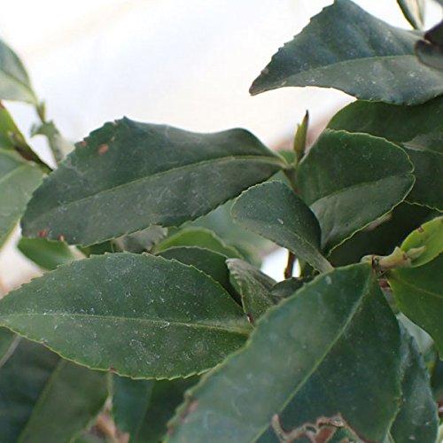 茶(チャ):サヤマカオリ5号ポット