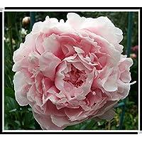 15pcs /牡丹の種。ホームの庭の植物牡丹の花の種のためのシャクヤクsuffruticosa 12色の屋内盆栽の花の種