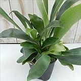 コウモリラン ビカクシダ(プラティセリウム ビフルカツ インテリア 観葉植物 12cmポット)