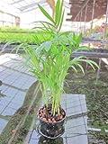 水耕栽培 苗 テーブルヤシ(ミドル)