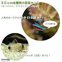 (熱帯魚)30cm水槽用小型魚セット(カージナルテトラ10匹+Co.パンダ3匹) 本州・四国限定[生体]