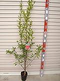 【ザクロ苗木】 カリフォルニアザクロ 2年生苗 ザクロ 【ガーデンストーリーの果樹苗木】