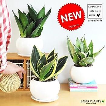 LAND PLANTS サンスベリア 白色丸型陶器鉢 シルバーハニー