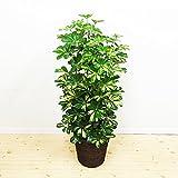 シェフレラ ホンコンカポック 斑入り 鉢カバー付 観葉植物 インテリア 中型 大型