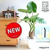 LAND PLANTS 【観葉植物】 クワズイモ (白色セラアート鉢)