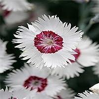 16色のカーネーション盆栽バルコニー鉢植えコートヤードガーデン植物ナデシコCaryophyllus花盆栽、100個/ロット:5