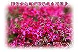 芝桜/スカーレットフレーム ポット苗(ピンク系)5本セット