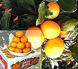 温室栽培 みかん 5kg 愛知蒲郡産 加温 JA蒲郡 柑橘類 センサー選別品